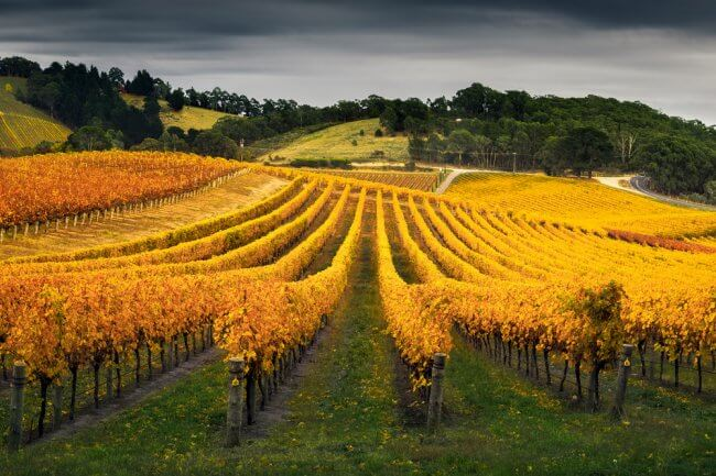 View of a vineyard in Barossa Valley