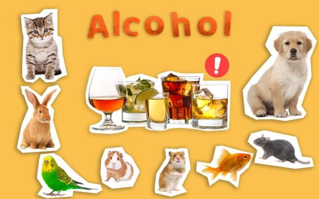 Alcohol could be harmful to pets such as cats, dogs, rabbits, birds, hamsters, fish and small rodents.