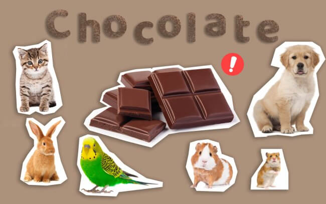 Chocolate could be harmful to pets such as cats, dogs, rabbits, birds, hamsters and smaller rodents.