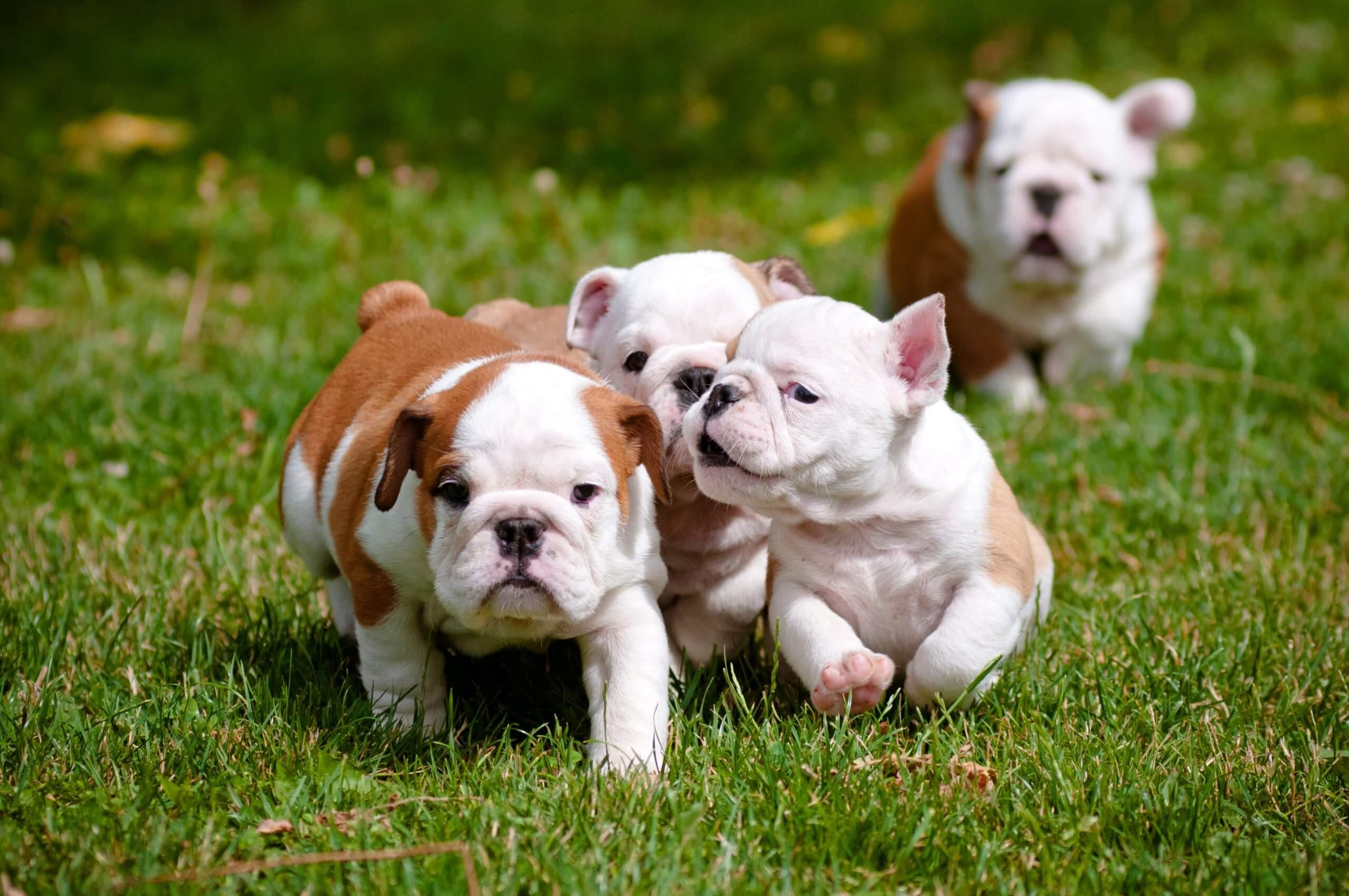 flat-faced English bulldog puppies playing