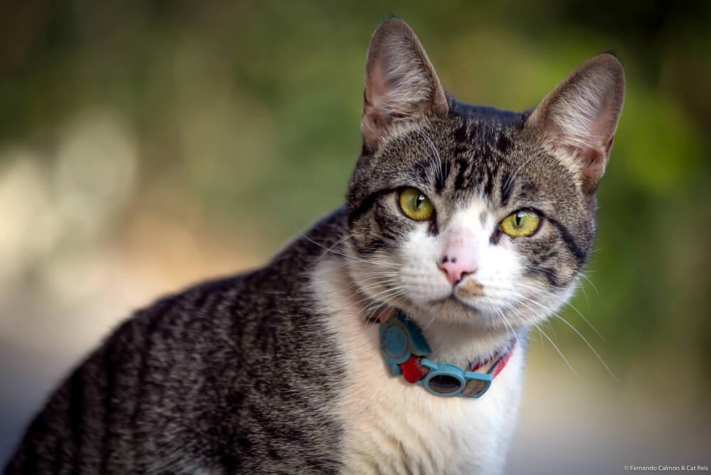 an American Wirehair cat