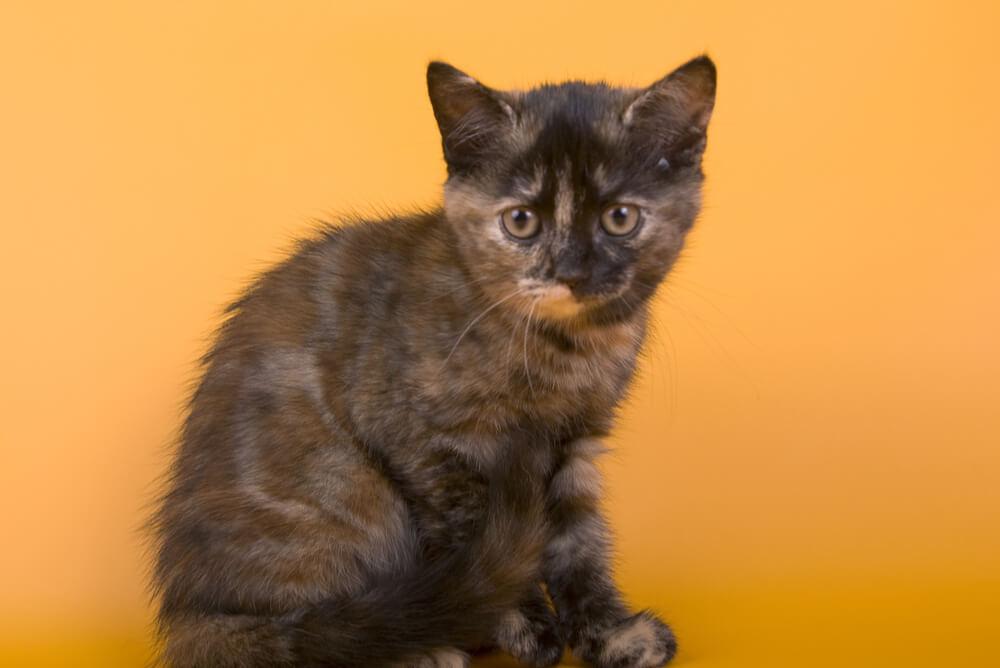 a dark coloured Australian Mist kitten