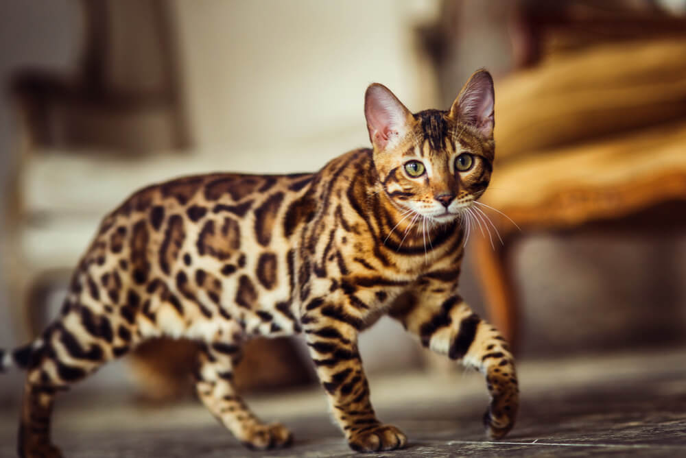 a Bengal cat prowling across the floor