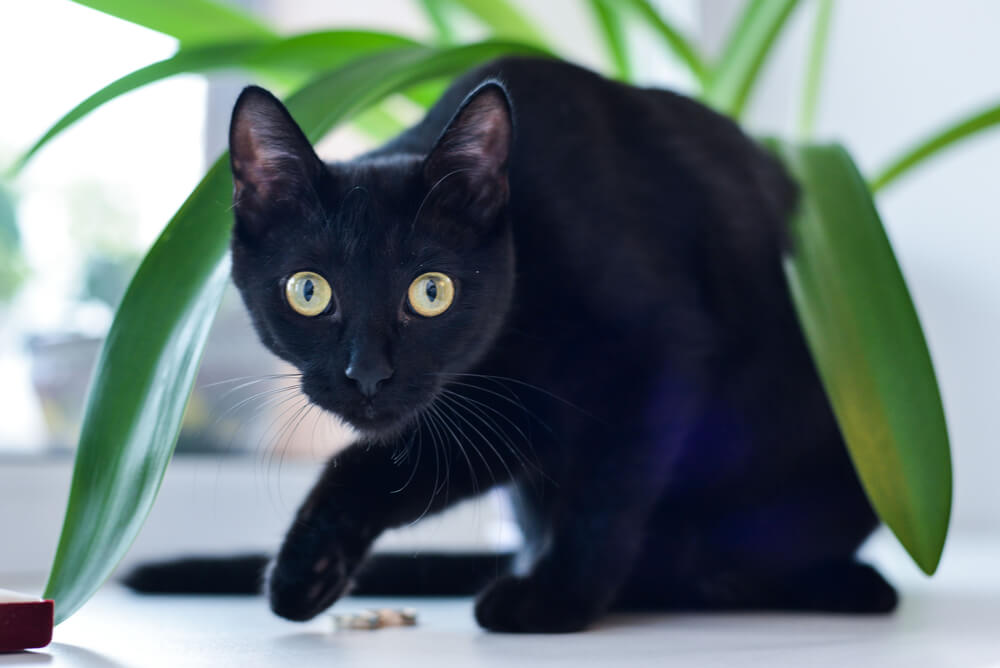 a Bombay cat sneaking under a pot plant