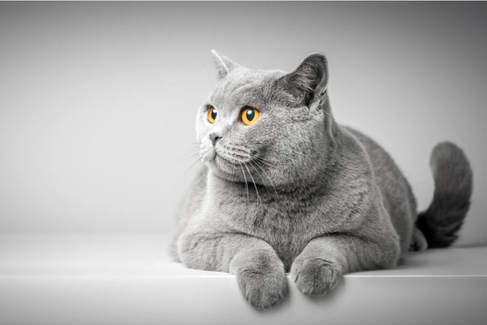 a grey British Shorthair cat with amber eyes