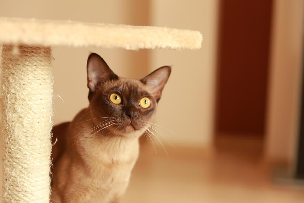a Burmese cat standing next to a scratching post