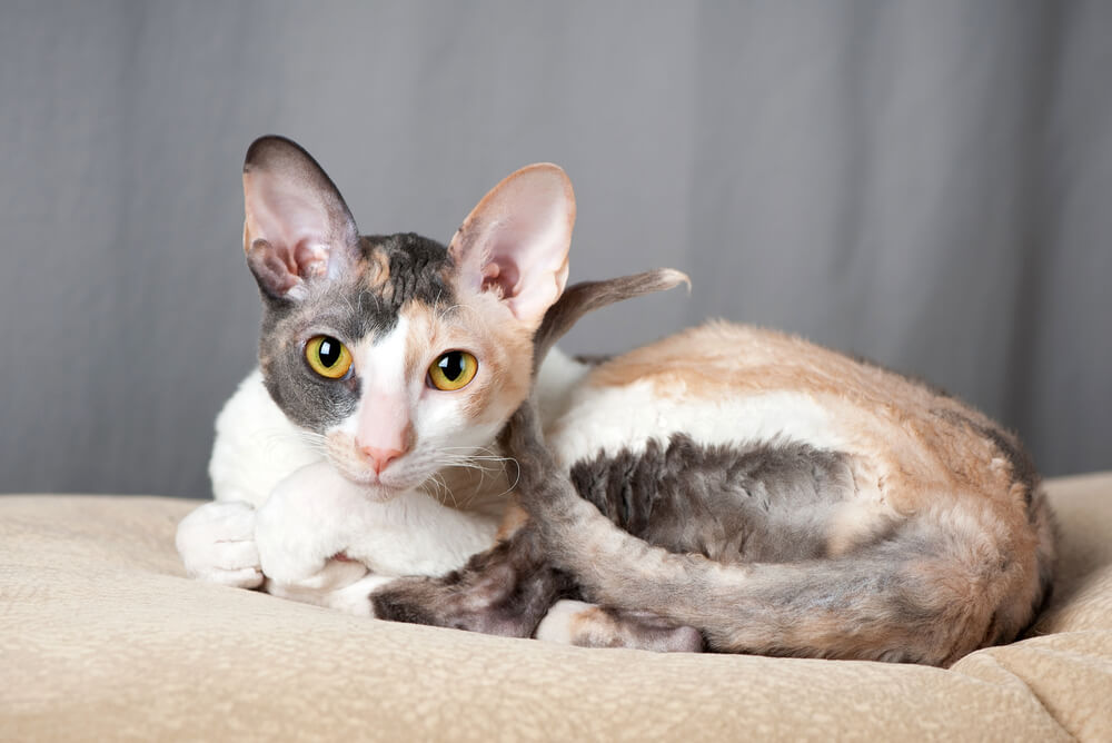 A Cornish Rex cat curled up on the bed