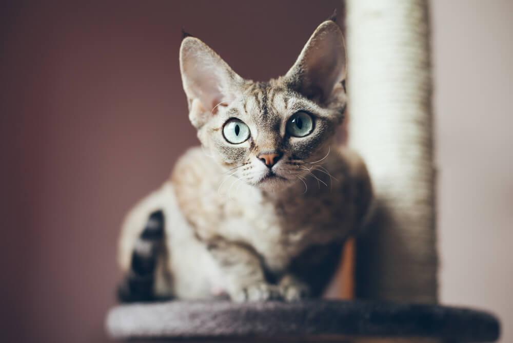 a Devon Rex cat standing on a cat tower