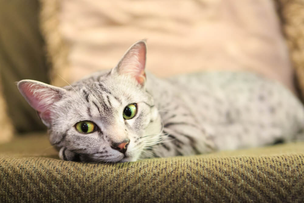 an Egyptian Mau sitting on a couch