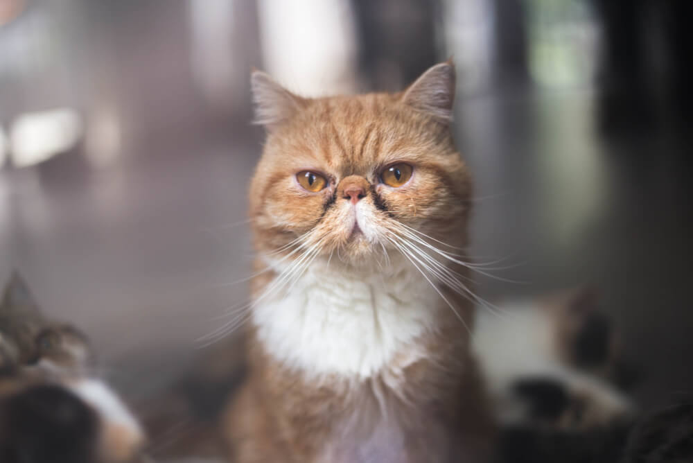 an Exotic Shorthair cat