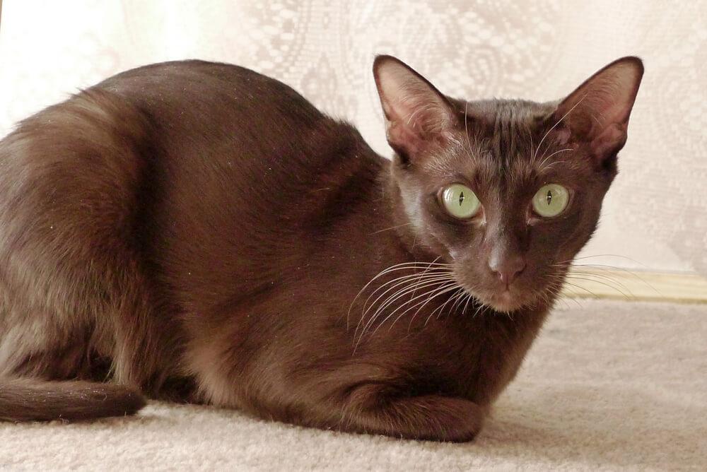 a Havana Brown sitting on the carpet