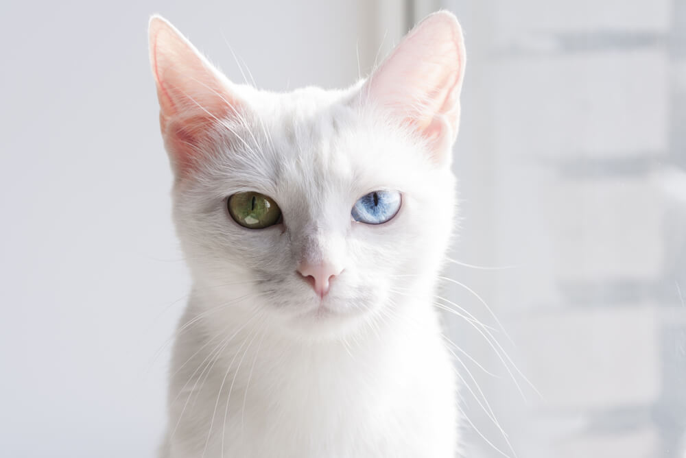 a Khao Manee with one green eye and one blue eye