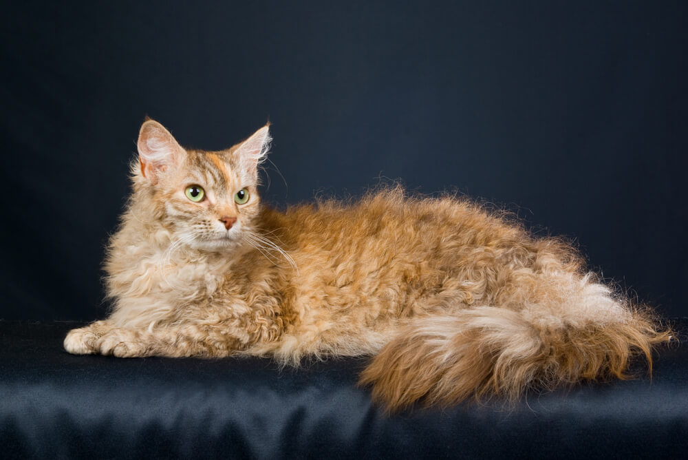 a LaPerm resting on a dark blanket
