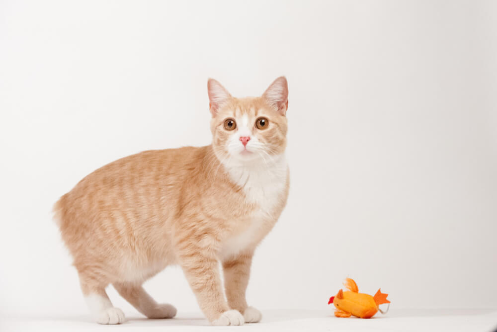 a ginger Manx cat