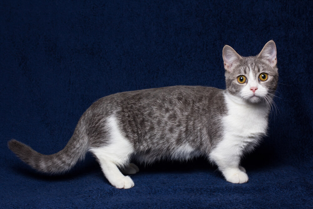 a white and grey Munchkin cat