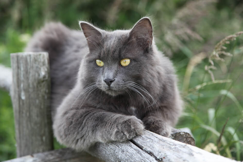 a Nebelung lying on a wooden fence