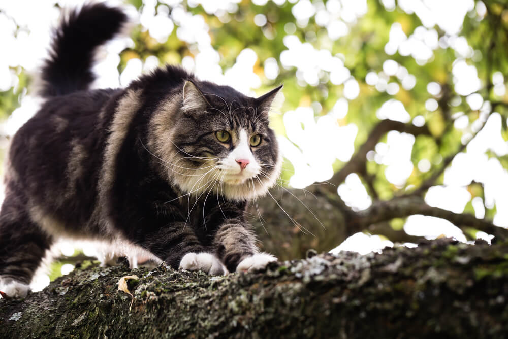 a Norwegian Forest Cat perched in a tree