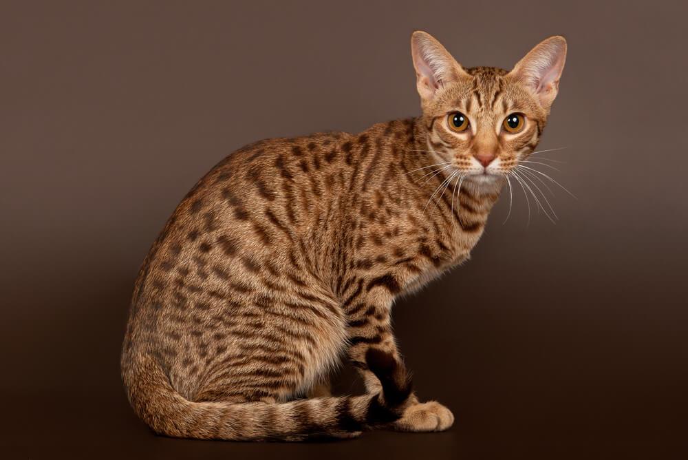 light brown Ocicat sitting up