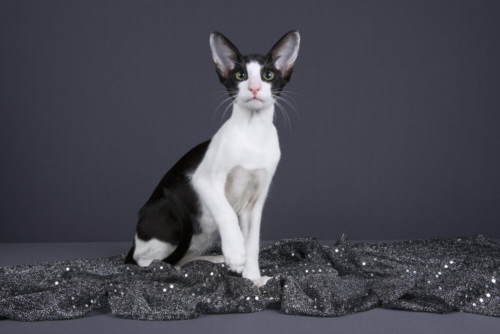 a black and white adult oriental