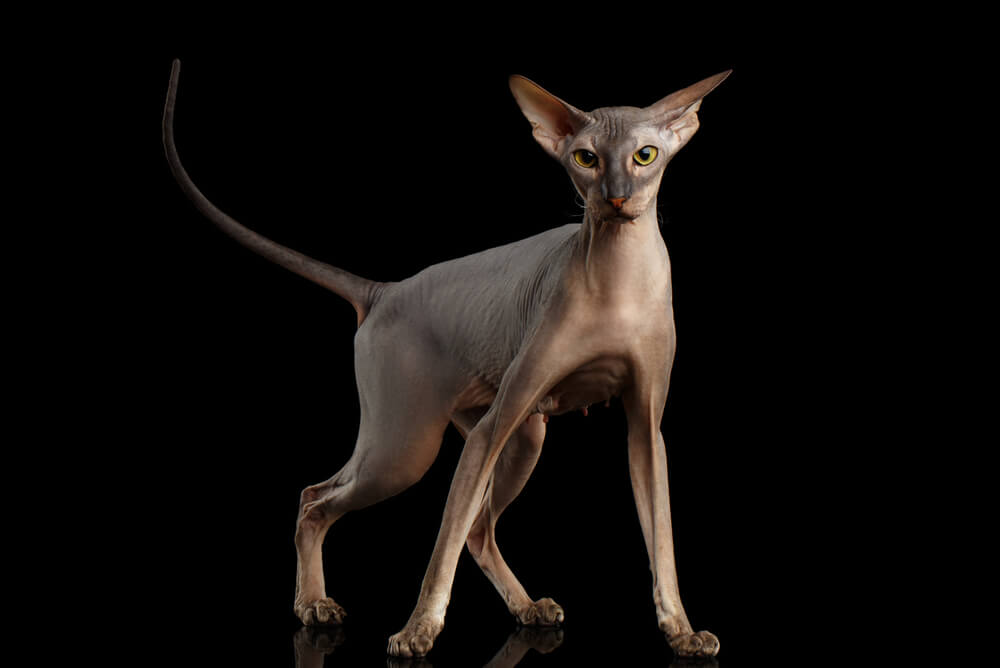 a Peterbald cat with amber eyes