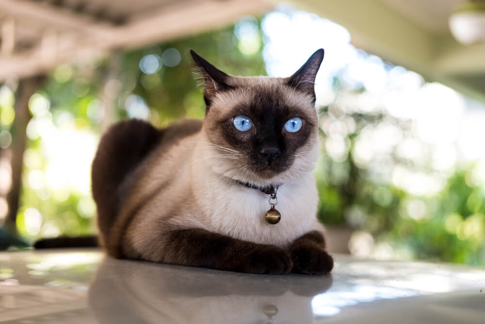 a Siamese cat lying down on the ground