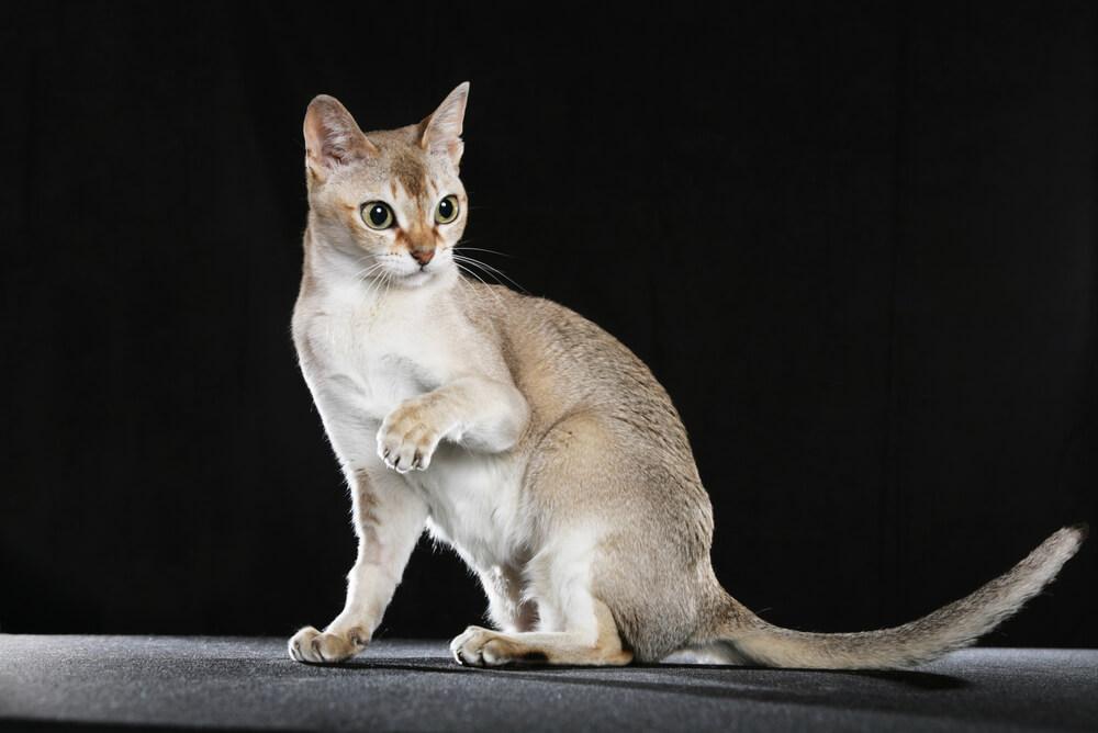 a Singapura cat perched on a dark surface