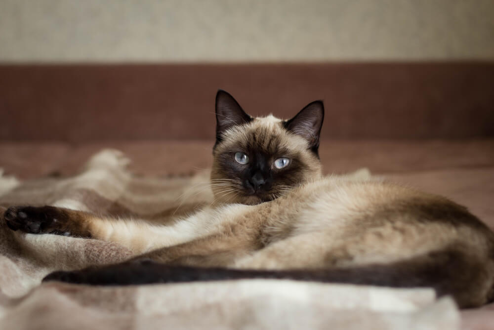 a Thai cat lying down on a chequered blanket