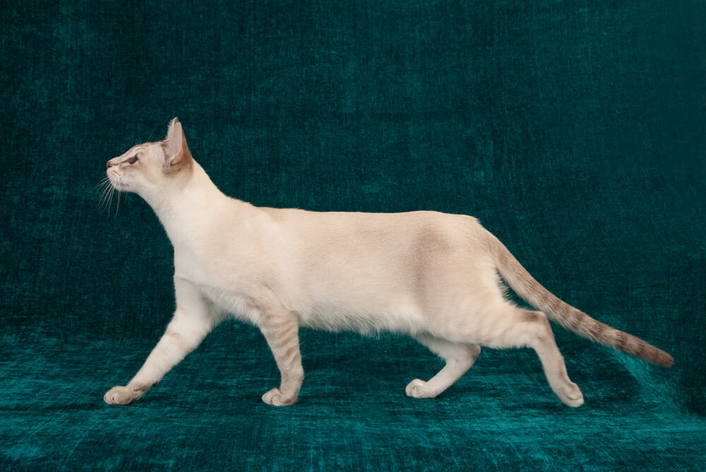 a Tonkinese cat in front of an emerald background