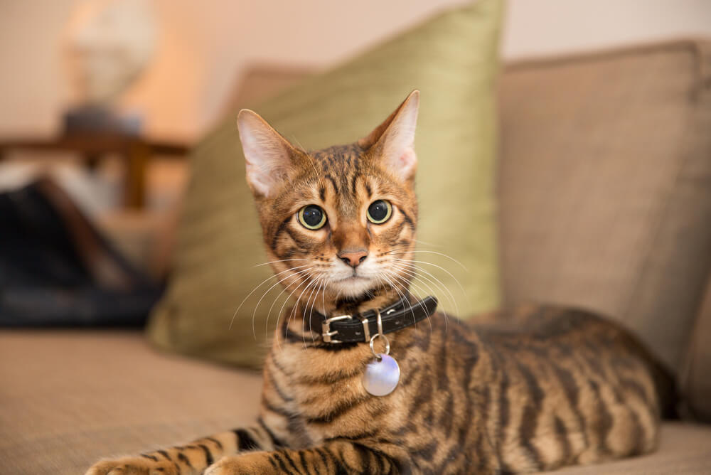 a Toyger cat wearing a collar and sitting on a couch
