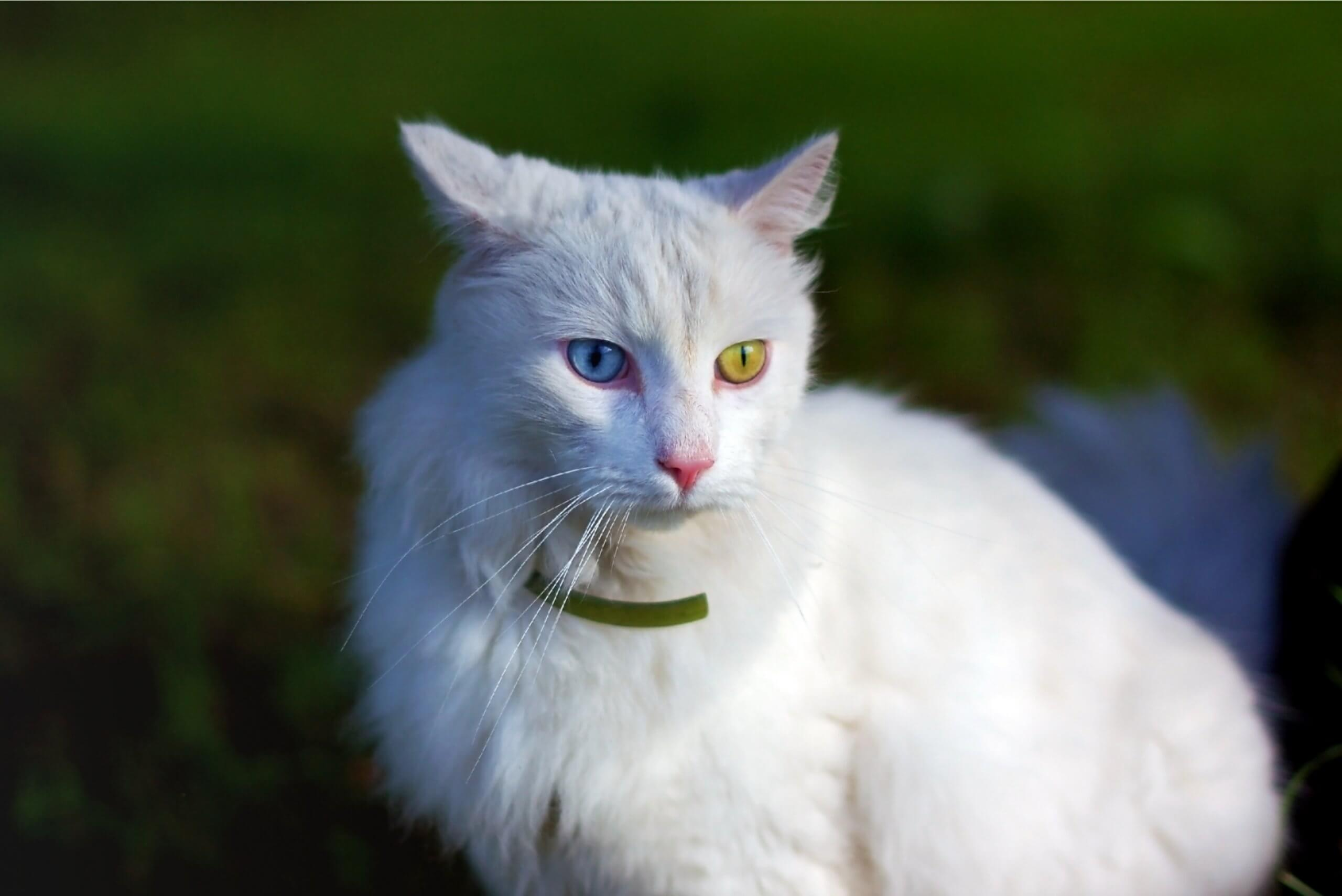 a white Turkish Angora with one blue eye and one green eye
