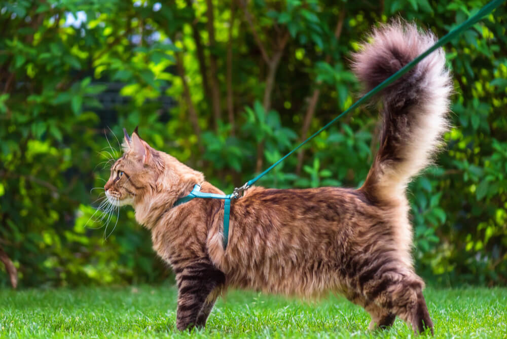 Cat wearing a cat harness and lead out in the garden