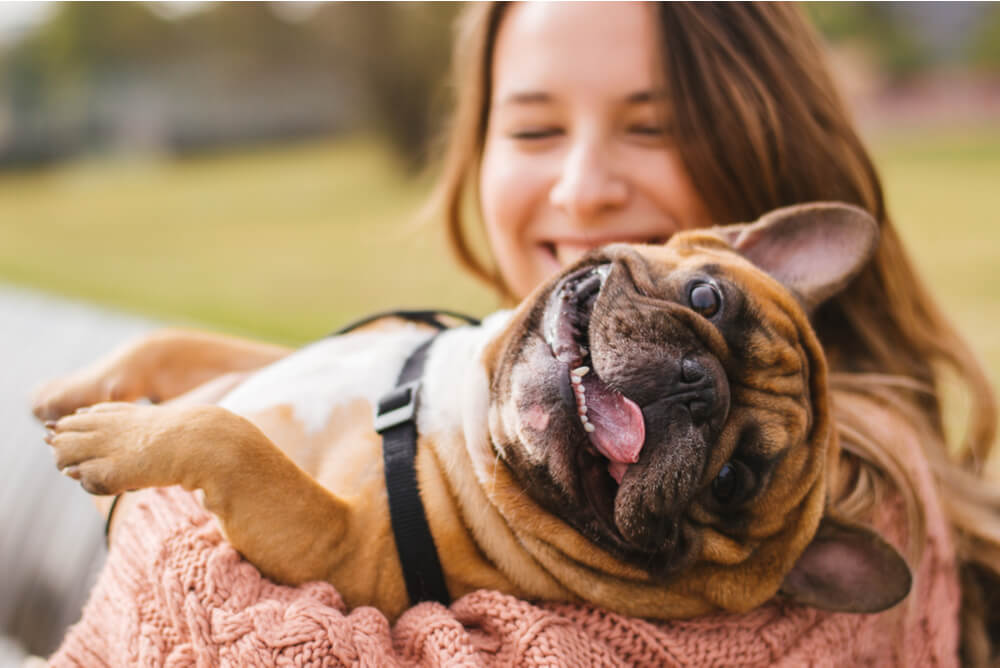 Smiling French Bulldog lying in his owner's arms
