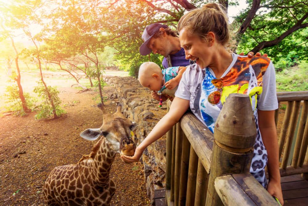 a family on holiday in Africa feeding a giraffe