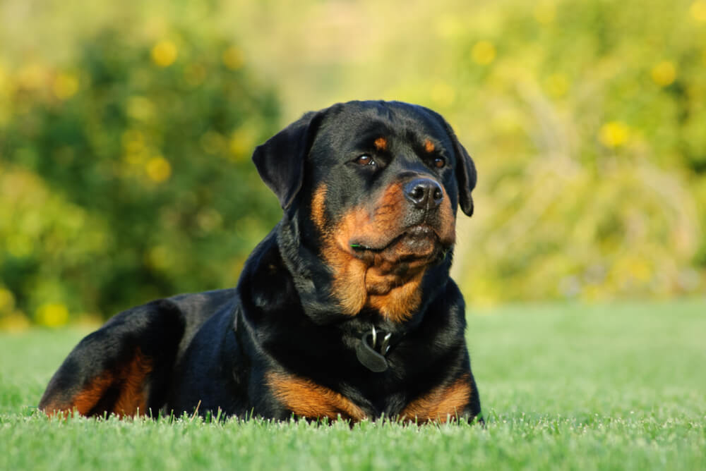 A Rottweiler lying in the grass