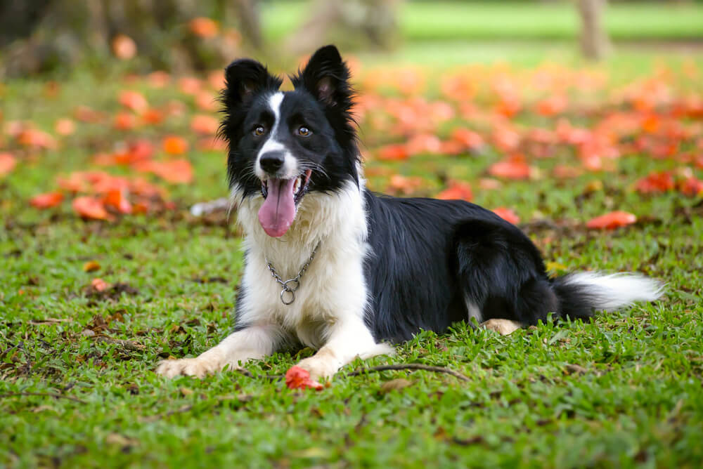 A black and white Border Collie lying on the grass
