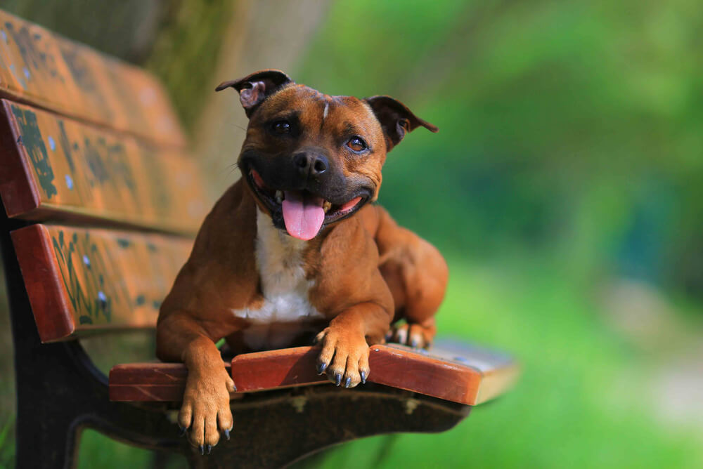 A brown Staffordshire Bull Terrier sitting on a park bench