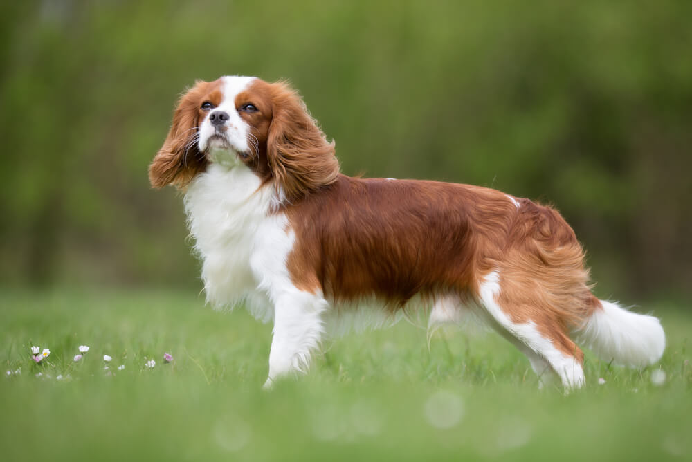 A red and white Cavalier King Charles Spaniel standing in a grass field