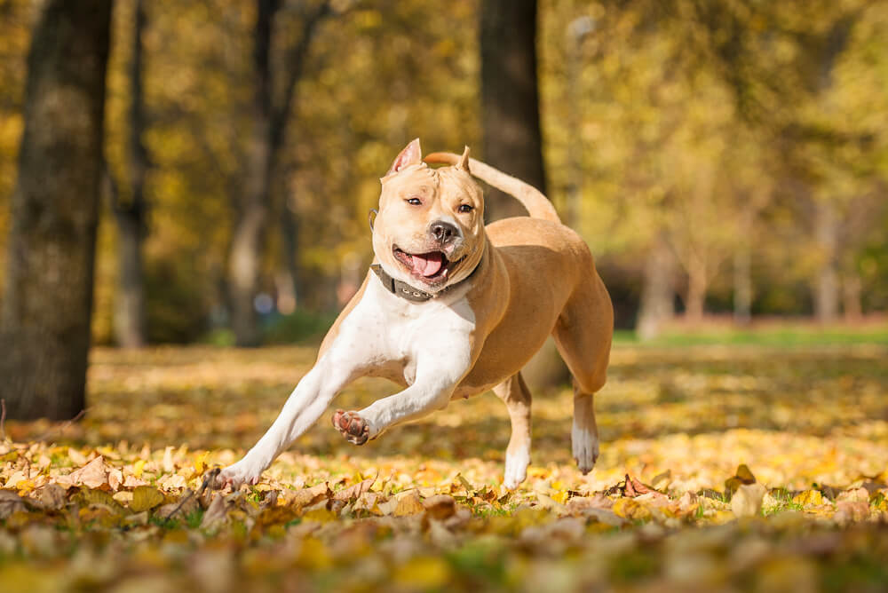 A tan-coloured American Staffordshire Terrier happily running among fallen leaves