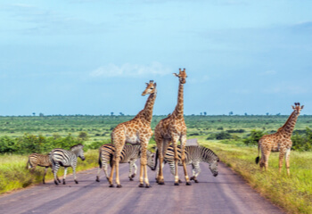 South African landscape with giraffes